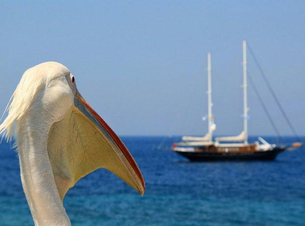 Pelikan Petros na Mikonosu